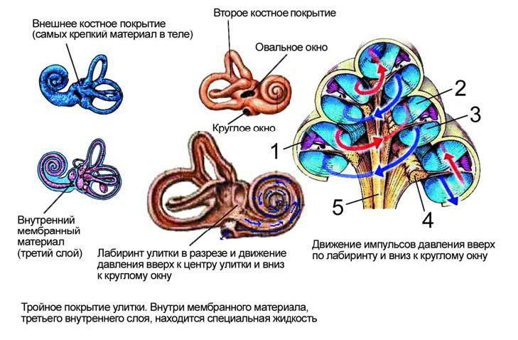 Улитка (Внутреннего Уха)